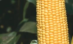 GSS 5649 F1 kukorica