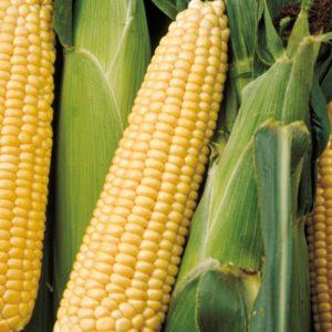 Signet F1 kukorica