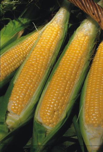 Sweet Nugget F1 kukorica